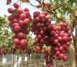Виноград Ред Глоб і його літня обрізка